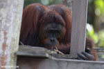 Bornean orangutan on 'Orangutan Island', a temporary home until it can be released back into the wild [kalteng_0811]