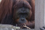 Bornean orangutan on 'Orangutan Island', a temporary home until it can be released back into the wild [kalteng_0812]