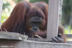 Bornean orangutan on 'Orangutan Island', a temporary home until it can be released back into the wild [kalteng_0813]