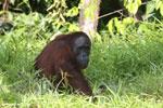 Bornean orangutan [kalteng_0816]