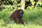 Bornean orangutan [kalteng_0817]
