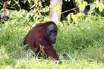 Bornean orangutan [kalteng_0818]