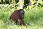 Bornean orangutan [kalteng_0819]