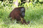 Bornean orangutan [kalteng_0820]