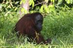 Bornean orangutan [kalteng_0821]