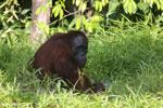 Bornean orangutan [kalteng_0822]