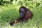 Bornean orangutan [kalteng_0823]