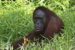 Bornean orangutan [kalteng_0825]