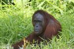 Bornean orangutan [kalteng_0826]