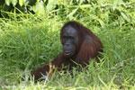 Bornean orangutan [kalteng_0827]
