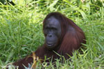 Bornean orangutan [kalteng_0828]