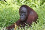 Bornean orangutan [kalteng_0829]