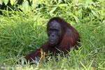 Bornean orangutan [kalteng_0830]