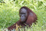 Bornean orangutan [kalteng_0831]