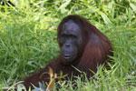 Bornean orangutan [kalteng_0832]