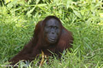 Bornean orangutan [kalteng_0834]