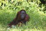 Bornean orangutan [kalteng_0835]