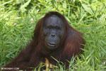 Bornean orangutan [kalteng_0836]