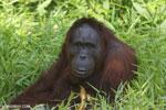 Bornean orangutan [kalteng_0837]