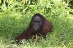 Bornean orangutan [kalteng_0838]