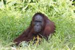 Bornean orangutan [kalteng_0839]