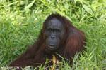 Bornean orangutan [kalteng_0840]