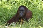 Bornean orangutan [kalteng_0841]