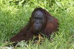 Bornean orangutan [kalteng_0842]