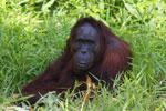 Bornean orangutan [kalteng_0843]