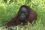 Bornean orangutan [kalteng_0845]
