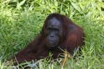 Bornean orangutan [kalteng_0846]
