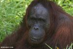 Bornean orangutan [kalteng_0847]