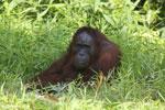 Bornean orangutan [kalteng_0848]