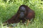 Bornean orangutan [kalteng_0849]