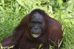 Bornean orangutan [kalteng_0850]