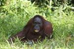 Bornean orangutan [kalteng_0851]