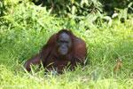Bornean orangutan [kalteng_0852]