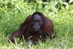 Bornean orangutan [kalteng_0854]
