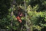 Bornean orangutan [kalteng_0855]