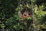 Bornean orangutan [kalteng_0857]