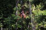 Bornean orangutan [kalteng_0858]