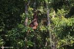 Bornean orangutan [kalteng_0859]
