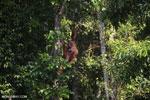 Bornean orangutan [kalteng_0860]