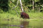 Bornean orangutan [kalteng_0861]