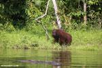 Bornean orangutan [kalteng_0862]