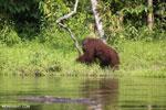 Bornean orangutan [kalteng_0863]