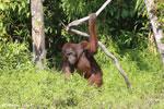 Bornean orangutan [kalteng_0864]