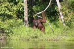 Bornean orangutan [kalteng_0865]