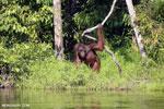 Bornean orangutan [kalteng_0866]