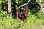 Bornean orangutan [kalteng_0867]